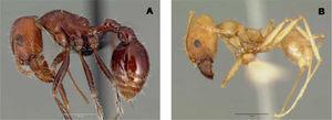 Dos especies endémicas de México. A) Pogonomyrmex snellingi, B) Pheidole granulata Copyright AntWeb.org, 2000-2009.