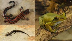 A, Bolitoglossa lincolni; B, Charadrahyla taeniopus macho y C), Parvimolge townsendi (Fotografías: Carmen Loyola-Blanco, Instituto de Biología, UNAM).