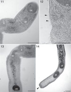 Telorchis birabeni (Digenea: Telorchiidae) parasite of Phrynops hilarii (Testudines: Chelidae) from Southern Brazil. 11, anterior region, os-oral sucker, ph- pharynx, a-acetabulum (bar=220μm); 12, integument of the anterior region with presence of spines (arrows) (bar=53μm); 13, anterior region, a-acetabulum, cs-cirrus sac, ov-ovary (bar=170μm); 14, posterior region, cupuliform formation characteristic of the species (arrow), at-anterior testis, pt-posterior testis (bar=240μm).