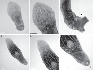 1–3, Cheloniodiplostomum sp. (Digenea: Proterodiplostomidae) parasite of Acanthochelys spixii (Testudines: Chelidae) from Southern Brazil. 1, ventral view, egg (arrow) (bar=150μm); 2, ventral view of forebody, hf-holdfast (bar=150μm); 3, lateral view of hindbody, well-developed genital cone (arrow), ov-ovary, at-anterior testis, pt-posterior testis (bar=180μm). 4–6. Cheloniodiplostomum testudinis (Digenea: Proterodiplostomidae) parasite of Phrynops hilarii (Testudines: Chelidae) from Southern Brazil. 4, ventral view (bar=160μm); 5, ventral view of forebody (bar=160μm); 6, ventral view of hindbody, genital cone (arrow), hf-holdfast, ov-ovary, at-anterior testis, pt-posterior testis (bar=160μm).