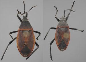 Vista dorsal de Largus semipunctatus Halstead (hembra: izquierda; macho: derecha).