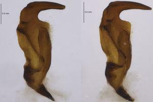 Parámeros de Largus semipunctatus Halstead.