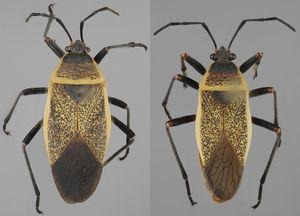 Vista dorsal de Largus cinctus Herrich-Schaeffer (hembra: izquierda; macho: derecha).