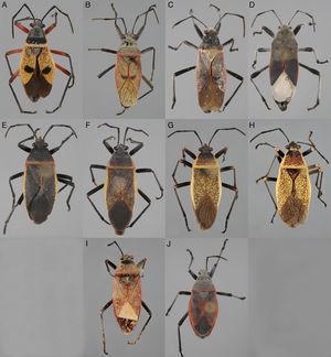 Placa comparativa en vista dorsal de los machos de Largus spp. A, Largus bipustulatus Stål; B, L. maculatus Schmidt; C, L. longulus Stål; D, L. subligatus Distant; E, L. convivus Stål; F, L. sculptilis Bliven; G, L. cinctus Herrich-Schaeffer; H, L. maculiventris Schmidt; I, L. varians Stål; J, L. semipunctatus Halstead.