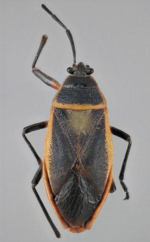 Vista dorsal de Largus succinctus Linneo (hembra).