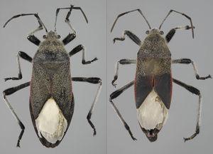 Vista dorsal de Largus subligatus Distant (hembra: izquierda; macho: derecha).