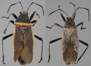 Vista dorsal de Largus longulus Stål (hembra: izquierda; macho: derecha).