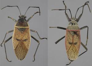 Vista dorsal de Largus maculatus Schmidt (hembra: izquierda; macho: derecha).