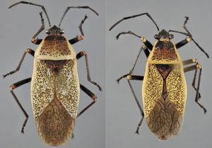 Vista dorsal de Largus maculiventris Schmidt (hembra: izquierda; macho: derecha).