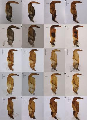 Parámeros de Largus spp. A, Largus sculptilis Bliven; B, L. convivus Stål; C, L. cinctus Herrich-Schaeffer; D, L. subligatus Distant; E, L. bipustulatus Stål; F, L. maculatus Schmidt; G, L. longulus Stål; H, L. maculiventris Schmidt; I, L. varians Stål; J, L. semipunctatus Halstead.