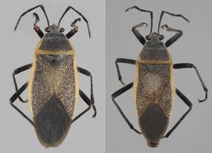 Vista dorsal de Largus sculptilis Bliven (hembra: izquierda; macho: derecha).