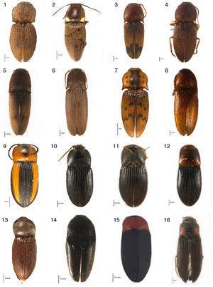 Hábito dorsal de las especies que representan nuevos registros para Jalisco. 1, Rismethus scobinula Candèze, 1857; 2, Vesperelater occidentalis Champion, 1895; 3, Aeolus melliculus Candèze, 1859; 4, Conoderus pruinosus Champion, 1895; 5, C. rodriguezi Candèze, 1881; 6, C. depressipennis Candèze, 1859; 7, C. nocturnus Candèze, 1859; 8, Heteroderes gibbulus Champion, 1895; 9, Cardiophorus aptopoides Candèze, 1865; 10, Esthesopus hepaticus Eschscholtz, 1829; 11, E. breviusculus Champion, 1896; 12, E. atripennis Candèze, 1860; 13, Horistonotus mixtus Champion, 1895; 14, Drapetes sp.; 15, Lissomus sp.; 16, Agriotes mixtus Champion, 1896.