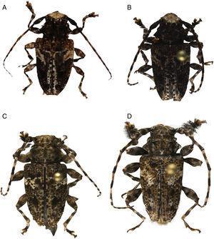 A) Aegomorphus albosignus Chemsak y Noguera; B, C y D), Acanthoderes ramirezi Chemsak y Hovore, vista dorsal.