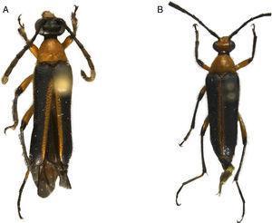 A y B) Nemognathomimus opacipennis Chemsak y Noguera, vista dorsal.