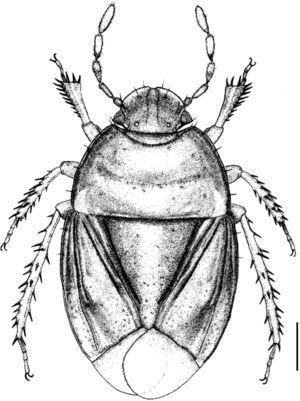 Holotype of Pangaeus (Pangaeus) cervantesi sp. n. (scale=1mm).