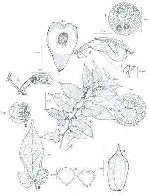 Aristolochia purhepecha Santana-Michel y Cuevas. A) Rama con hojas y una flor; B) detalle de la hoja; C) indumento por el haz; D) indumento por el envés; E) perianto con ovario, utrículo, tubo y limbo; F) indumento externo del utrículo; G) pedúnculo, bráctea, ovario y sección longitudinal de utrículo con ginostemo y siringe; H) vista superior del limbo del cáliz; I) detalle de la superficie papilosa del limbo en su parte interna; J) fruto; K) semillas. Dibujo de Enrique V. Sánchez Rodríguez con base en el holotipo. La superficie papilosa del limbo con base en J.G. Morales 597 y el fruto y la semilla con base J.G. Morales 575.