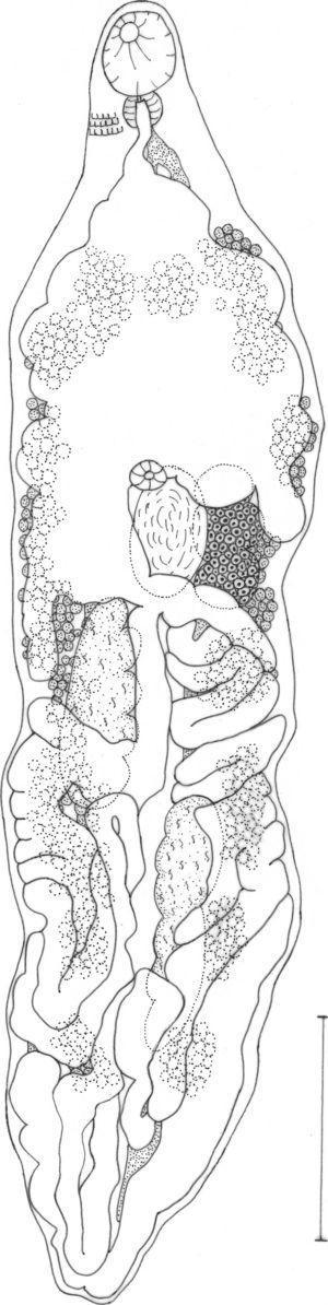 Haematoloechus nicolasi n. sp. Ventral view. Scale=1mm.
