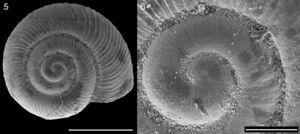 Stephacharopa calderaensisMiquel & Araya, 2013, Antofagasta, Chile (MACN-In 39.800); (5): apical view; (6): detail of protoconch. Bar=1mm for 5, and 0.2mm for 6.