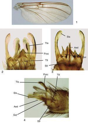 Mycomya chilensis, male adult. (1) Wings; (2) terminalia, ventral view; (3) terminalia, dorsal view; (4) terminalia, lateral views. Abbreviations: Aed: aedeagus; Gst: gonostylus; Proc: central processus; Sla: sternal lateral appendages; S9: sternite 9; Tla: tergal lateral appendages; T9: tergite 9.