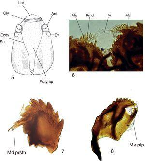 Mycomya chilensis, larva. (5) Head, dorsal view; (6) detail of mouthparts, ventral view; (7) mandible, dorsal view; (8) maxilla, dorsal view. Abbreviations: Ant: antenna; Cly: clypeus; Ecdy su: ecdysial suture; Ey: stemmata; Frcly ap: frontoclypeal apotome; Lbr: labrum; Md: mandible; Md prsth: prostheca; Mx: maxilla; Mx plp: maxilary palp; Pmd: premandible.