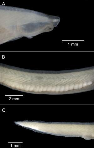 Lateral view of the external features of Branchiostoma californiense (LEMA-CCC2) from Bahía Chamela. (A) Head region; (B) trunk region; (C) tail region.