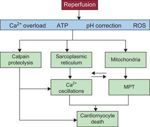Diagram showing the main mechanisms of cardiomyocyte death during myocardial reperfusion. Reperfusion causes calcium oscillations that are dependent on the sarcoplasmic reticulum and mitochondrial permeabilization that is promoted by calcium overload and oxidative stress. Recovery from acidosis promotes both phenomena, which are intimately related due to physical contact between mitochondria and sarcoplasmic reticula and also the activation of calcium-dependent proteases (calpain) (see the detailed explanation in the text). ATP, adenosine triphosphate; MPT, mitochondrial permeability transition; ROS, reactive oxygen species.
