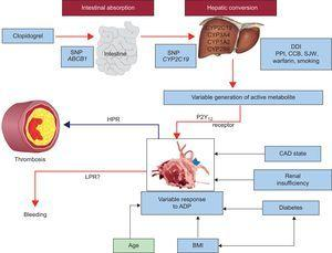 Various factors influencing platelet reactivity and clinical events during clopidogrel therapy. ADP, adenosine diphosphate; BMI, body mass index; CAD, coronary artery disease; CCB, calcium channel blocker; CYP, cytochrome P450; DDI, drug-drug interaction; HPR, high on-treatment platelet reactivity; LPR, low on-treatment platelet reactivity. PON 1, paraoxonase 1; PPI, proton pump inhibitor; SJW, St. John's wort; SNP, single nucleotide polymorphism. Adapted with permission from Gurbel et al.22.