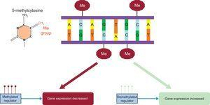DNA methylation and its effect on gene expression. Me, methyl.