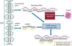 Binding of a microRNA to messenger RNA and blockage of translation. miRNA, microRNA.