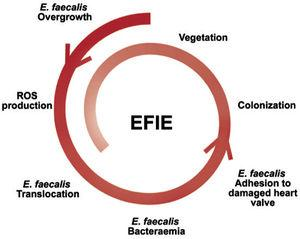 Pathophysiology of EFIE with intestinal portal of entry. E. faecalis, Enterococcus faecalis; EFIE, Enterococcus faecalis infective endocarditis; ROS, reactive oxygen species.