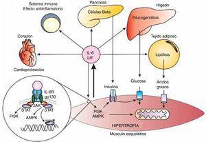 Endocrine and autocrine responses to Interleukin 6 (IL-6) and the leukaemia inhibitory factor (LIF), PI3K=Phosphatidyl Inositol 3 Kinase, AMPK=AMP activated protein kinase, JAK=Janus Kinase, STAT=Signal transduction and activators of transcription.