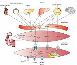 IL-6=Interleukin 6, LIF=leukaemia inhibitory factor, IL-15=Interleukin 15, PI3K=Phosphatidyl Inositol 3 Kinase, BDNF=brain-derived neurotrophic factor, FGF21=fibroblast growth factor 21, AMPK=AMP activated protein kinase, STAT=signal transduction and activators of transcription.
