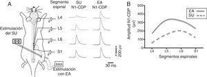 Potenciales del dorso de la médula espinal (cord dorsum potential [CDP]) producidos por el estímulo del nervio sural (SU) y estimulación con electroacupuntura (EA) en Zusanli (E 36) y Sanyinjiao (BP 6). A. Representación esquemática del protocolo experimental y del primer componente negativo del CDP (N1-CDP) producido por estímulos eléctricos únicos aplicados al nervio SU y por la EA, y registrados en los segmentos espinales L4-S1. B. Representación gráfica de la distribución longitudinal de la amplitud del componente N1-CDP producido por la estimulación del nervio SU y por la EA. Adaptada de Quiroz-González et al., 201411.
