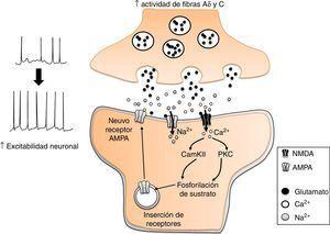 Participación del glutamato en la sensibilidad central en el dolor neuropático. El incremento en la actividad de las fibras Aδ y C, incrementa la liberación de glutamato en las neuronas nociceptivas de la médula espinal. Esto desencadena diversos procesos mediados por el influjo de Ca2+ a la neurona, como la fosforilación y expresión de receptores AMPA a la membrana plasmática. El resultado es un incremento en la excitabilidad neuronal.