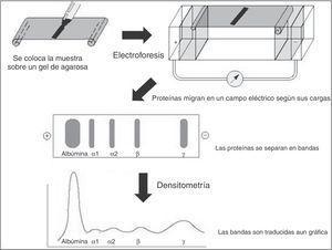 Estructura de las inmunoglobulinas humanas.