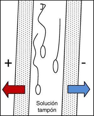Esquema de una cámara de electroforesis para separación de espermatozoides. Se inocula la muestra en la cámara previamente cargada con una solución tampón y se aplica una corriente continua de 75mA con un voltaje variable (18-21V). En pocos min se consigue separar la población de espermatozoides de mejor calidad del resto de espermatozoides y células.