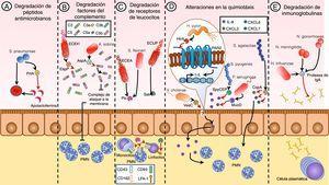 Las proteasas de serina como mecanismos de evasión inmunológica. Los mecanismos de evasión asociados a las proteasas de serina de patógenos comprenden diferentes vías, como la inhibición de la inmunidad innata al degradar péptidos antimicrobianos, como en el caso de S. pneumoniae (A). Además, se ha visto que la evasión del sistema de complemento puede ser desregulada por las proteasas de serina de algunos patógenos como ECEH y A. sobria (B). Otros patógenos como S. flexneri, ECEA y ECUP alteran la funcionalidad de las células del sistema inmune al degradar algunos receptores de membrana que median su interacción con otras células (C). La alteración de la quimiotaxis de células del sistema inmune, como en el caso de las proteasas de los patógenos H. pylori, V. cholerae, P. aeruginosa, S. pyogenes y S. agalactiae, puede ser estimulada para ser inducida o, por el contrario, la puede inhibir al degradar algunas quimiocinas (D). En el caso de la inmunidad humoral existen reportes que evidencian que H. influenzae, N. meningitidis y N. gonorrhoeae poseen una serín proteasa capaz de degradar los efectos de la IgA secretora (E).