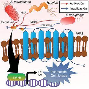 Proteasas de serina bacterianas activadoras de receptores PAR. Los microorganismos S. marcescens, H. pylori y P. aeruginosa, por acción de las proteasas serralisina, HtrA y LepA, respectivamente, han mostrado la capacidad de activar al receptor PAR2, y con ello inducir la producción de citocinas inflamatorias y quimiotácticas como son la IL-6 y la IL-8. En el caso S. marcescens y P. aeruginosa se sabe que tales eventos tras la activación del receptor PAR2 involucran la activación del factor de transcripción NF-κB, y que en el caso de P. aeruginosa este efecto puede ser dependiente también de la activación de PAR1 y PAR4. Así mismo, en P. aeruginosa la proteasa de serina elastasa es reconocida por «desarmar» al receptor PAR2, realizando un corte proteolítico río abajo de su sitio de activación impidiendo la activación de este.