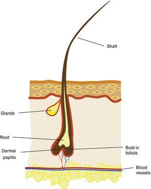 The general morphology of the eyelash and its surrounding skin.