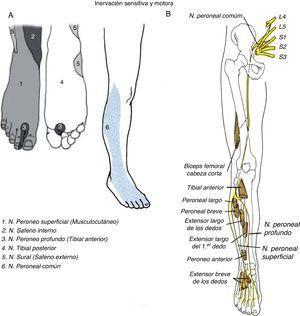 A: inervación sensitiva de la pierna y el pie. B: recorrido del nervio ciático y sus ramas.