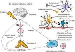 Implicación del eje hipotálamo-pituitario-adrenal (HPA) y el sistema inmune en la respuesta neuroinflamatoria. El eje HPA se activa en respuesta a la exposición a estímulos estresantes físicos y psicológicos, mediante la secreción de la hormona liberadora de corticotropina (CRH) por el hipotálamo. Esta hormona, a su vez, estimula la síntesis de corticotropina (ACTH) en la hipófisis, que estimula la secreción de cortisol por las glándulas adrenales. La regulación de la secreción de cortisol está sujeta a un mecanismo de retroalimentación negativo (conocido como feedback negativo), mediante el cual el propio cortisol inhibe la síntesis de sus precursores (CRH y ACTH). En esta inhibición participan los receptores glucocorticoideos del hipotálamo y la hipófisis, además de los receptores glucocorticoideos y mineralocorticoideos presentes en el hipocampo. En cuanto a la relación del eje HPA y la respuesta inflamatoria periférica, si bien el cortisol la inhibe ejerciendo un efecto inmunosupresor, existe una estimulación inflamatoria por otras hormonas del eje HPA como la CRH. Esta relación es bidireccional, ya que la activación de la respuesta inflamatoria periférica puede estimular al eje HPA. Los productos de esta inflamación periférica, en la que participan los macrófagos y linfocitos, pueden atravesar la barrera hematoencefálica (BHE) y desencadenar una reacción neuroinflamatoria mediante la estimulación de la microglía en formas activadas M1. Esta activación de la microglía genera una cascada inflamatoria mediante la liberación de citoquinas y especies reactivas del nitrógeno y oxígeno, induciendo la activación de la astroglía, que a su vez amplifica las señales inflamatorias dentro del sistema nervioso central. Además, existe una liberación excesiva de glutamato por parte de los astrocitos y también de mediadores de estrés oxidativo por parte de la microglía activada (relacionados con la inducción de la enzima indolamina 2,3 dioxigenasa [IDO]). Estos mecanismos afect