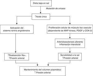 Mecanismo propuesto por el que la mutación de la uricasa proporcionó beneficios en términos de supervivencia a los homínidos del Mioceno. Adaptado de Watanabe et al.7.