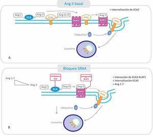 Relación entre el receptor AT1 (RcAT1) y la enzima convertidora de angiotensina 2 (ECA2): efectos del bloqueo del sistema renina-angiotensina-aldosterona. A. Estado basal: la Ang II formada se une al RcAT1, disminuyendo la interacción de este con la ECA2, fenómeno que favorece la endocitosis y posterior degradación, disminuyendo el nivel de ECA2 en la membrana. B. Cuando se utilizan inhibidores de la ECA o antagonistas de los RcAT1, ARA-II, disminuye la cantidad de Ang II formada y aumenta su degradación (por ECA2), estabilizándose la interacción del RcAT1 y la ECA2. Por consiguiente, disminuye la endocitosis de ECA2 y se favorece la conversión de Ang II a Ang 1-7.