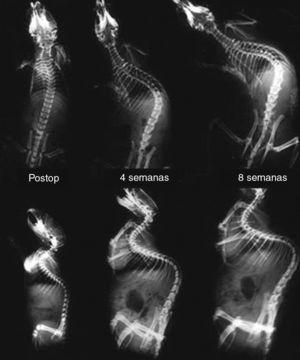 Serial dorsoventral and lateral radiographs of a rat obtained during the scoliosis-generation phase, in the immediate postoperative period after the suture of the pelvis to the scapula, at 4 weeks and 8 weeks after surgery. Note the gradual induction of kyphoscoliosis.