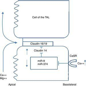 Regulation of TAL claudins by extracellular calcium.