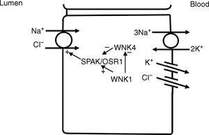 In the distal convoluted tubule, sodium and chloride in the lumen are taken up into the cell via a Na+–Cl− cotransporter (NCC). Transport via NCC is driven by a low intracellular sodium mostly generated by the basolateral Na+–K+ ATPase. The WNK1 kinase may serve as a chloride sensor to block inhibition of NCC by the WNK4 kinase.