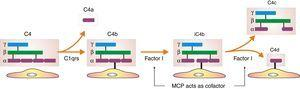 Evasion strategies of endothelial cells. Disappearance of cleaved component C4c and stable binding of fragment C4d mediated by the internal thioester.