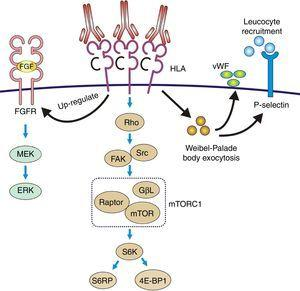 Pathophysiology of transplant vasculopathy. Antigen–antibody binding generates: (1) Increased expression of fibroblast receptors, which activate the MEK/ERK pathway and AP-1 and NF-kB, inducing cell proliferation. (2) The Weibel–Palade bodies secrete their contents of von Willebrand factor and P-selectin, which favors leukocyte recruitment. (3) Stimulation of the Rho pathway, which induces protein synthesis and cell proliferation.
