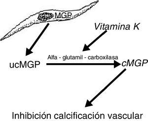 Vitamin K-dependent carboxylation is necessary to activate MGP in order to prevent vascular calcification.