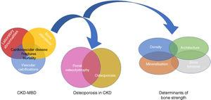 "Relationship between Chronic Kidney Disease–Mineral and Bone Disorder (CKD–MBD), renal osteodystrophy (bone changes secondary to chronic kidney disease [CKD]) and OP (associated with uraemia or age and gender of patients, among other factors). Bone strength is determined not only by bone mineral density, but also by bone quality, expressed by its determinants.94,151 Although some authors use the term ""uraemic"" OP,17 it is important to remember the existence of non-terminal CKD, which could be integrated within the CKD–MBD complex due to its capacity to worsen the condition."